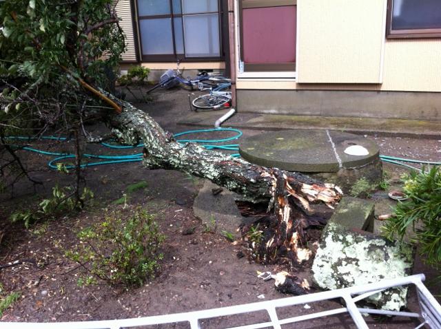 嵐で倒れた梅の木