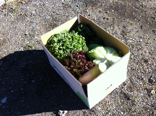 玉レタス2個、キャベツ2個、菜花、大根、サニーレタスとリーフレタス1個ずづ