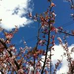 元朝桜が咲いたよ