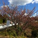 元朝桜はここだよ!